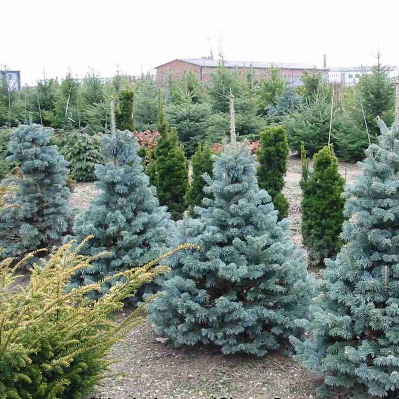 Copaci ornamentali pitici
