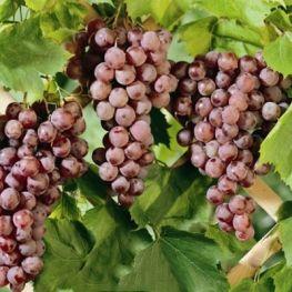 Alba de vin Aromata de Cserszeg
