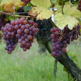Alba de vin Traminer roz