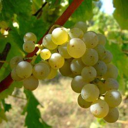 Alba de vin Sauvignon Blanc