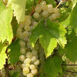 Alba de vin Feteasca Regala