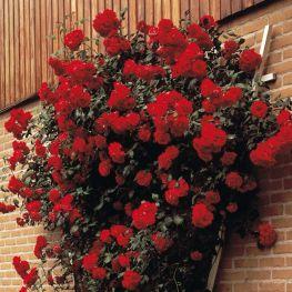Trandafir urcator Pauls Scarlet