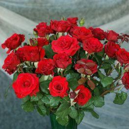 Trandafir teahibrid Red Berlin