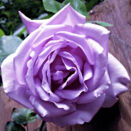 Trandafir teahibrid Sissi