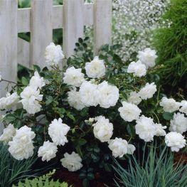 Trandafiri acoperitori de sol The Fairy White