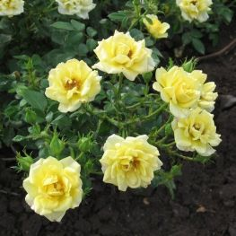 Trandafiri acoperitori de sol Yellow Fairy