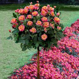 Trandafir pe trunchi