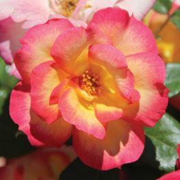 Trandafir floribunda Foc de Tabara