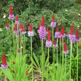 Primula Orhidee
