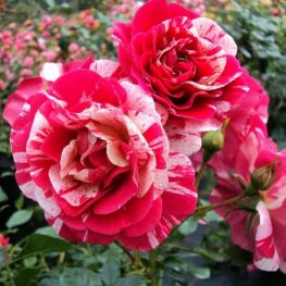 Trandafir englezesc Twist