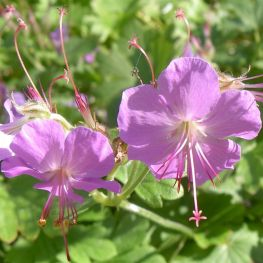Geranium cantabrigiense Cambridge
