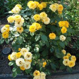 Trandafir de Parc Petito