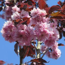 Cires japonez Royal Burgundy