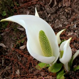 Lysichiton camtschatcensis