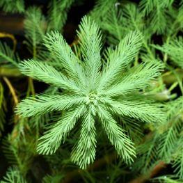 Miriophyllum aquaticum