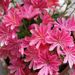 Lewisia Sunset Hybrids