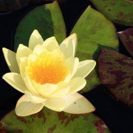 Nufar Marliacea Chromatella