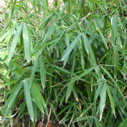 Bambus pitic Pleioblastus pumilis