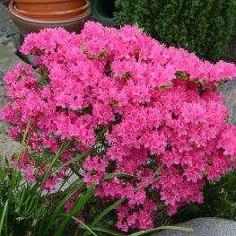 Rhododendron (AJ) Kermesina