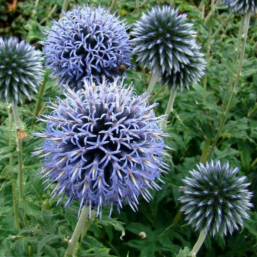 Echinops Veitch's Blue (Ciulin Albastru)