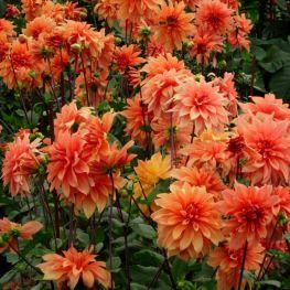 Dalia Orange Pygmy