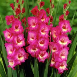 Gladiola Windsong