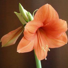 Crin Amaryllis Salmone/arancione