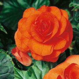 Begonia Grandiflora Arancione