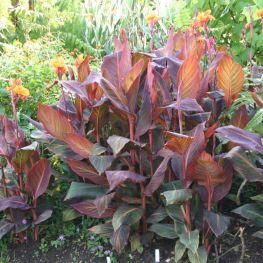 Canna Indica Purpurea