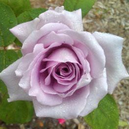 Trandafir teahibrid Blue Monday