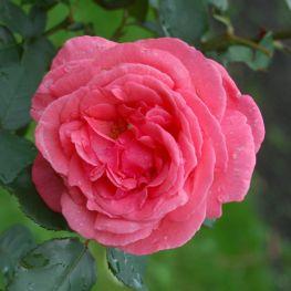 Trandafir teahibrid Pariser Charme