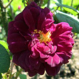 Trandafir istoric Nuits de Young