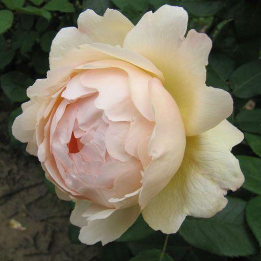 Trandafir romantic Wollerton Old Hall
