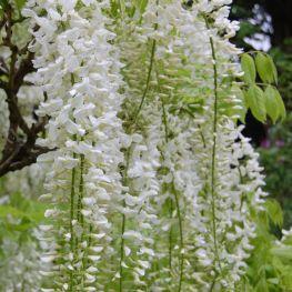 Glicina Wisteria floribunda Alba