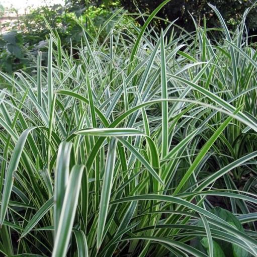 Iarba Bicolora Carex Morowii Variegata'