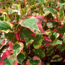 Planta Cameleon