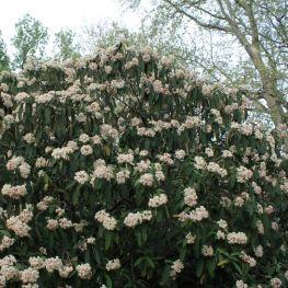 Calin Rhytidophyllum