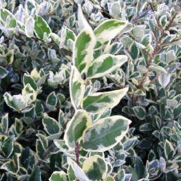 Lemn Cainesc Argenteomarginatum