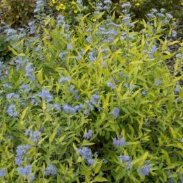 Arbust Caryopteris Worcester Gold