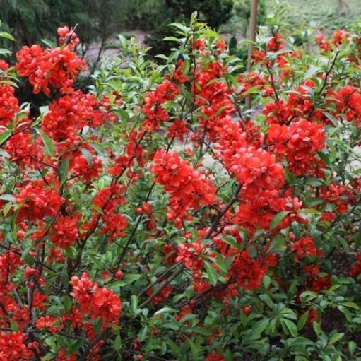 Plante ornamentale perene si flori pentru gradina for Arbusti ornamentali