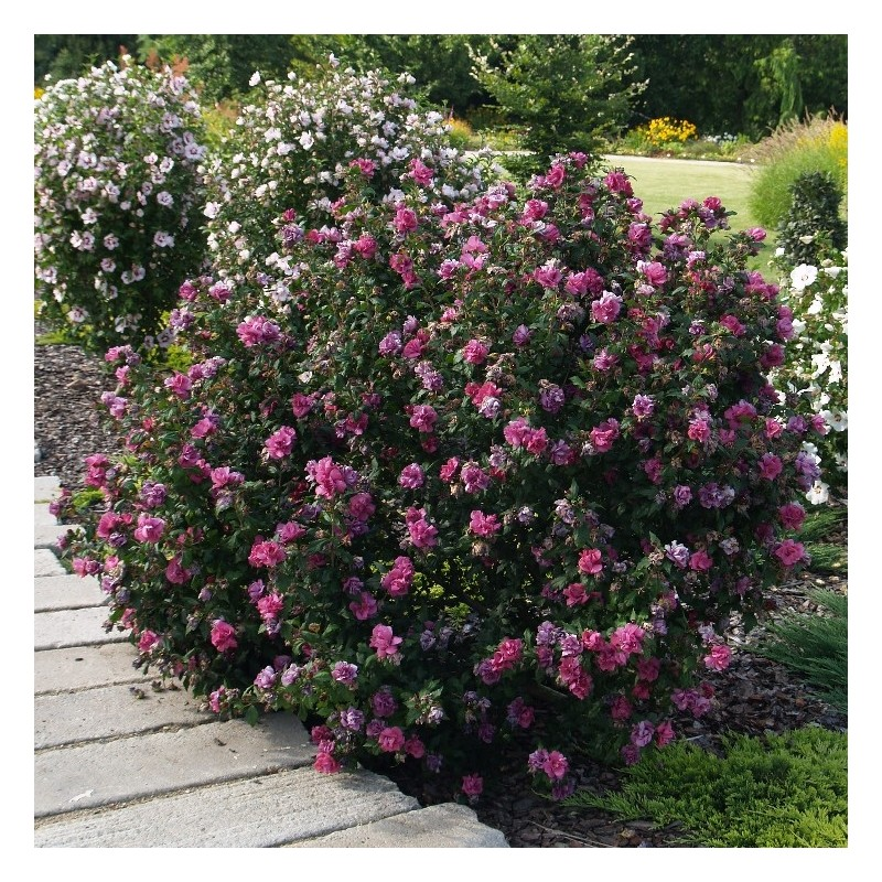 hibiscus duc de brabant. Black Bedroom Furniture Sets. Home Design Ideas