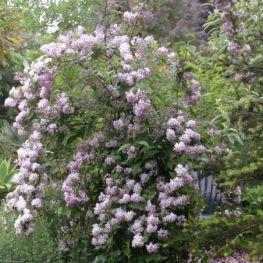 Arbust Deutzia cu flori roz