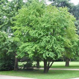 Arbore Katsura