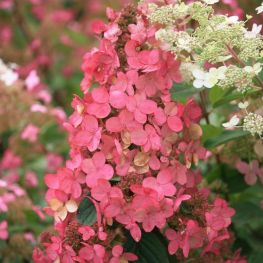 Hortensia Pink Diamond