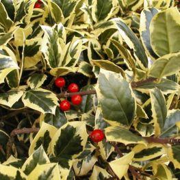 Laur Ilex Aquifolium Golden van Tol