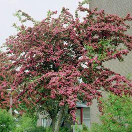 Paducel cu flori rosii