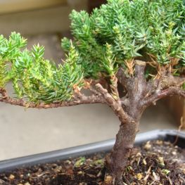 Ienupar Bonsai