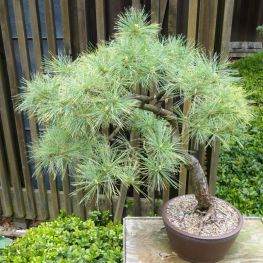 Bonsai Pin Neted