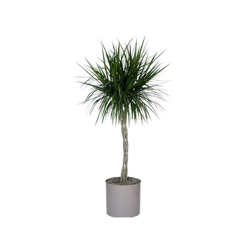 Palmier dracena for Plante de interior