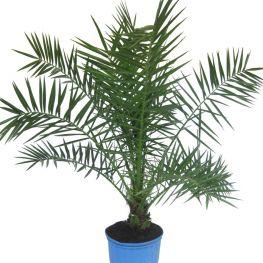 Palmier Phoenix canariensis